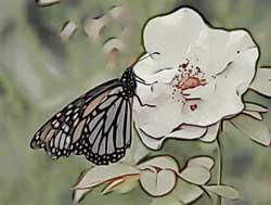 285-butterflyrose.jpg